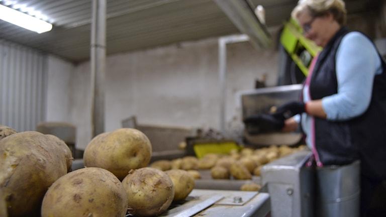 Potatisodlaren Ingrid Wallgren i Stöcksjö.