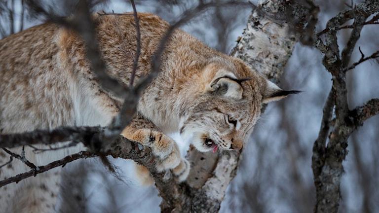 Ett lodjur som spanar ner från ett träd