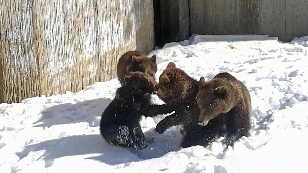 Björnarna leker i snön