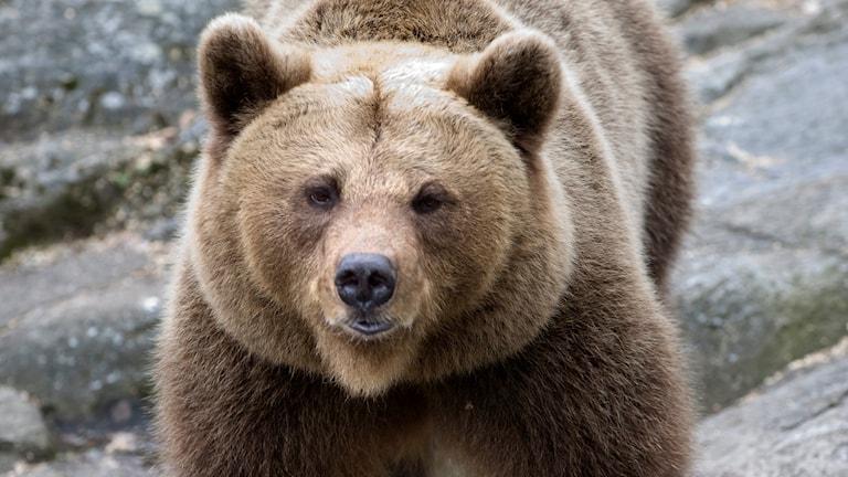 En brunbjörn