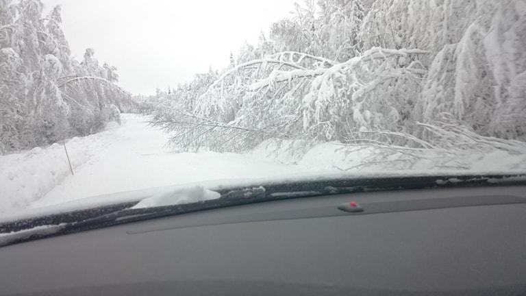 Träd som ligger böjda över vägen av tung snö