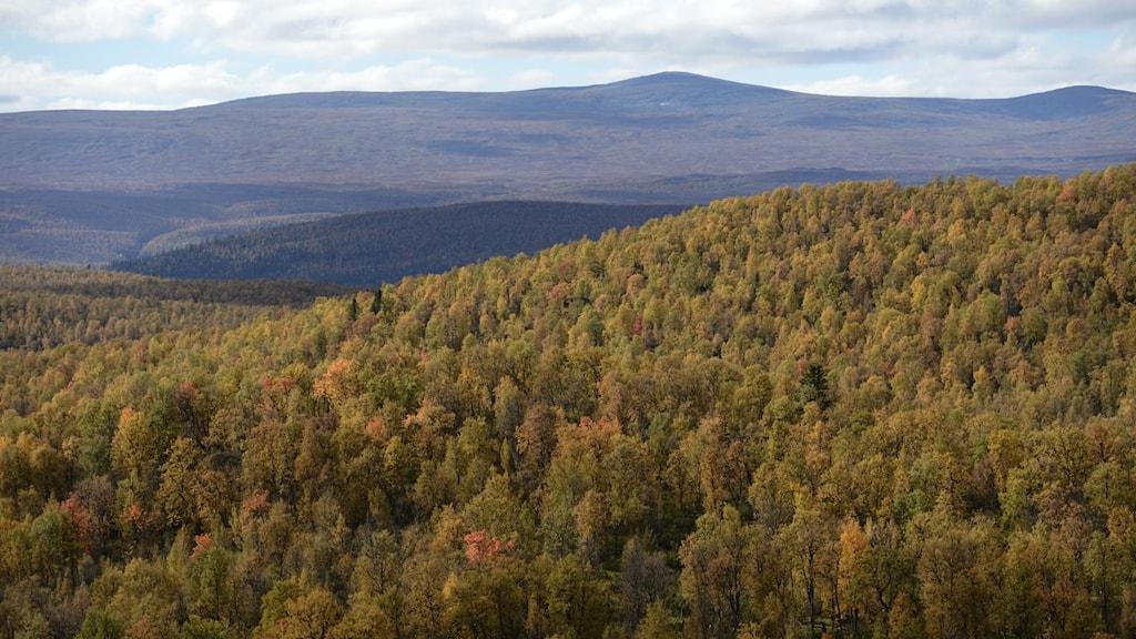 fjällnära skog
