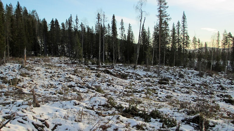 Hygge i äldre skog