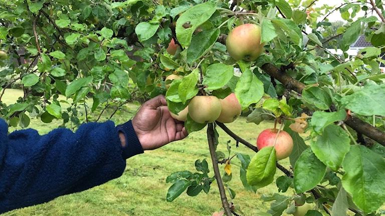 Äppeltider är härliga tider