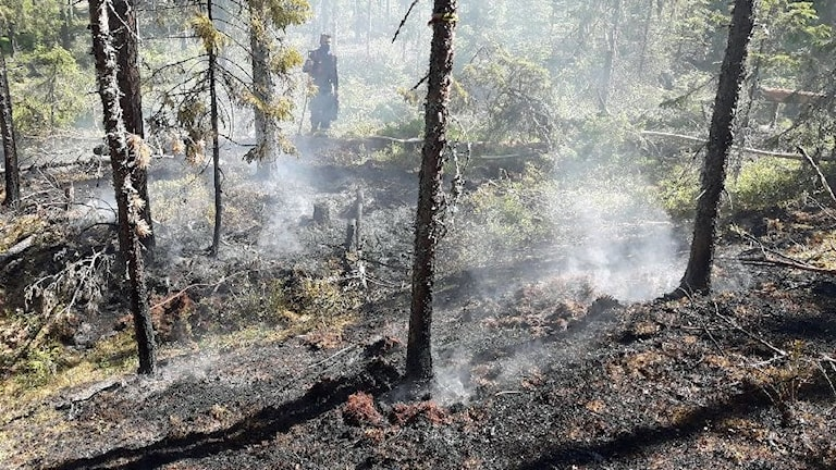 rök mellan svartbrända stammar i skogen