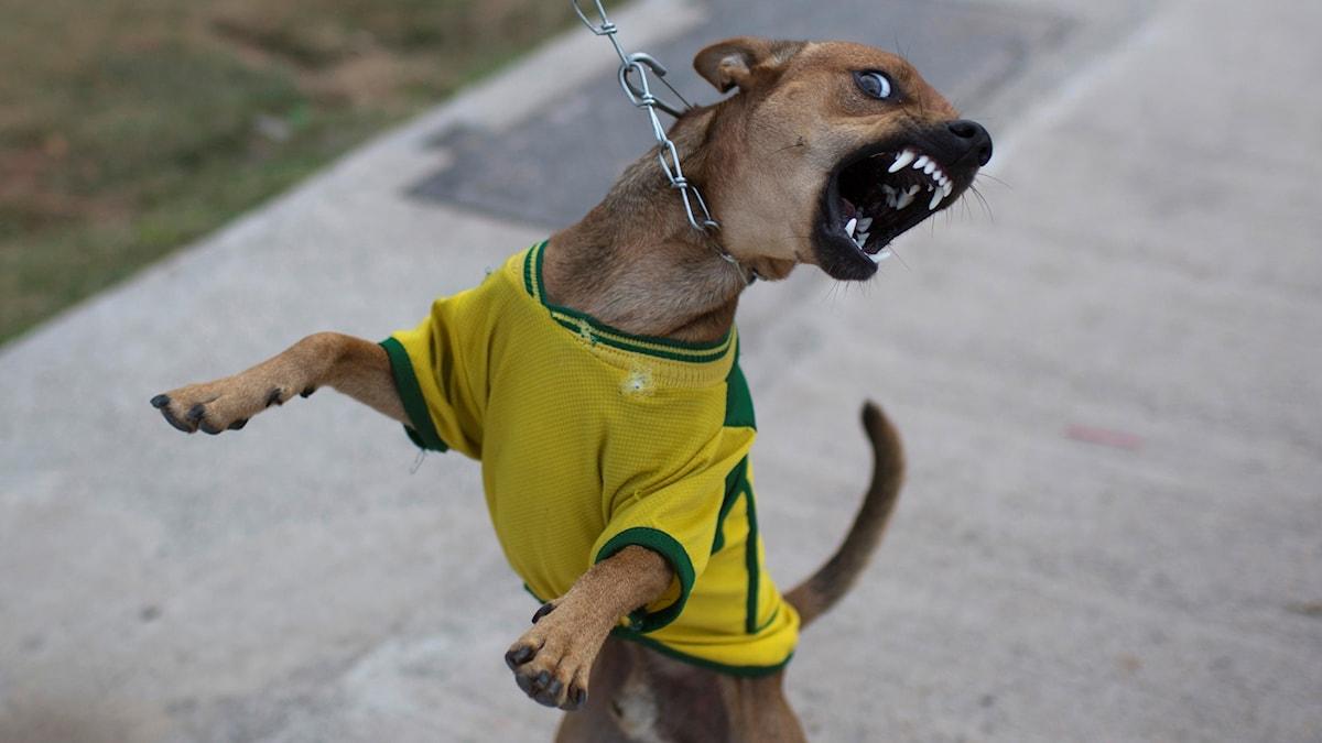 En hund som ser lite galen ut