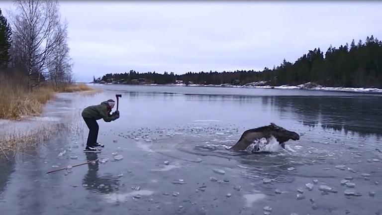 Sigrid Sjösteen försöker rädda älgen, genom att hacka hål i isen  med en yxa.