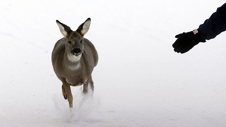 Ett rådjur som springer genom snön