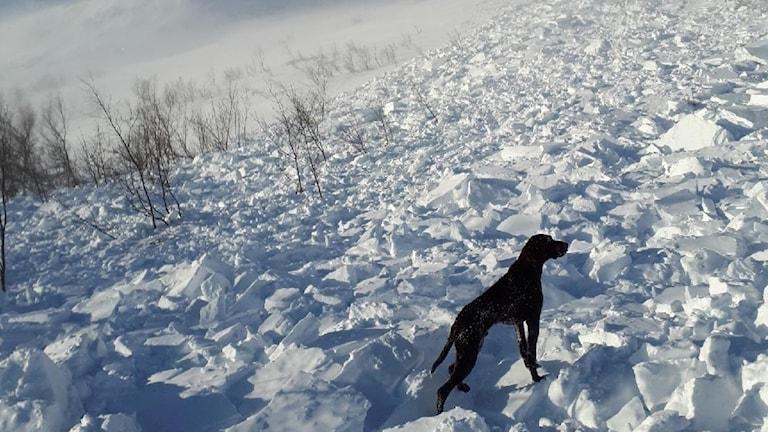 En hund som står i en slänt där det gått en lavin