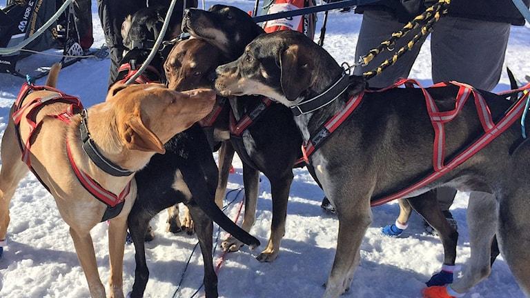 Tre hundar i solskenet
