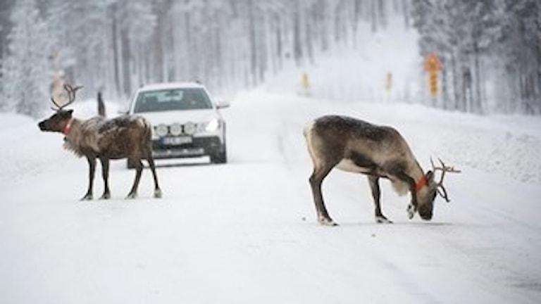 Renar och bil på vägen, vinterlandskap. Foto: Fredrik Sandberg/Scanpix.