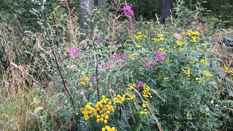 Vilda blommor i en dikeskant, gula och rosa.