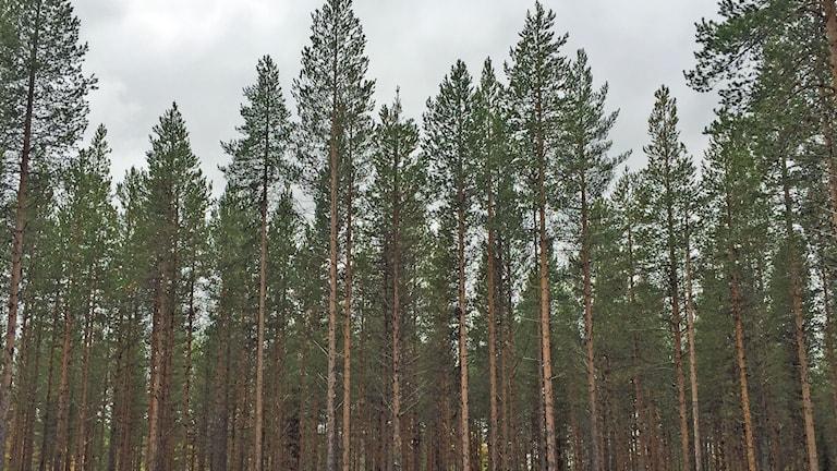 Brukad skog som skogsbruket vill ha den