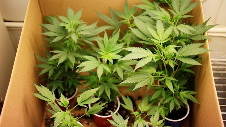 Cannabisplantor i kartong. Foto: Eric Risberg/AP.