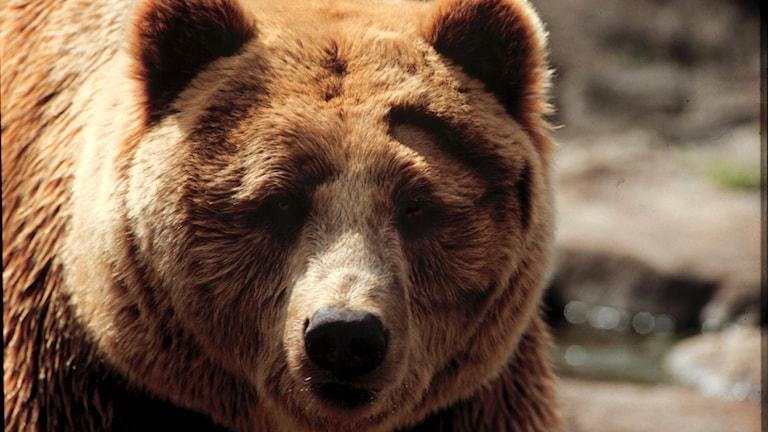 En björns huvud