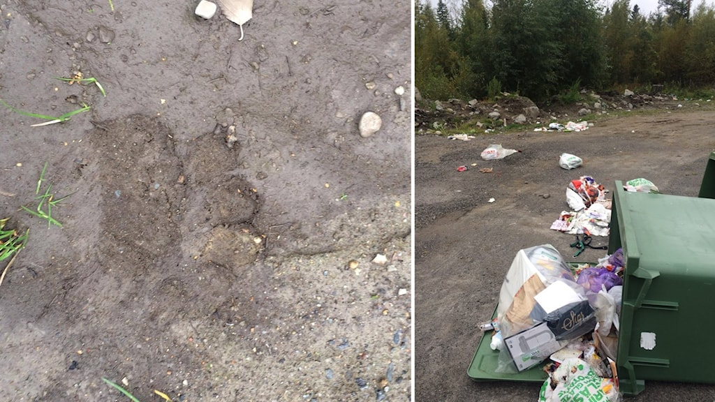 Björnspår och rivna soptunnor i Villanäs