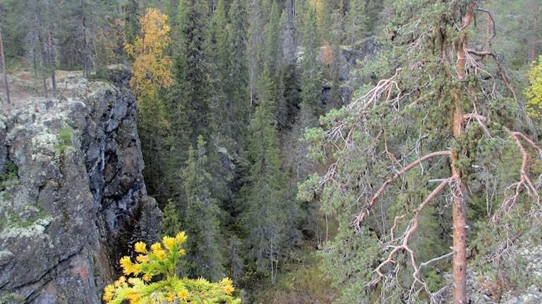 Många gammelskogar skyddas
