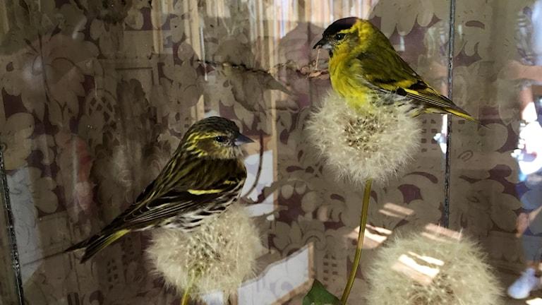 Två fåglar på utblommade blommor