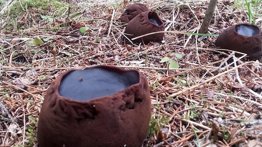Den fridlysta bombmurklan har ett ovanligt utseende. Som en brun rund påse som är öppen upptill och fylld med en fast svart materia. Foto: Annika Carlsson/Länsstyrelsen Västernorrland