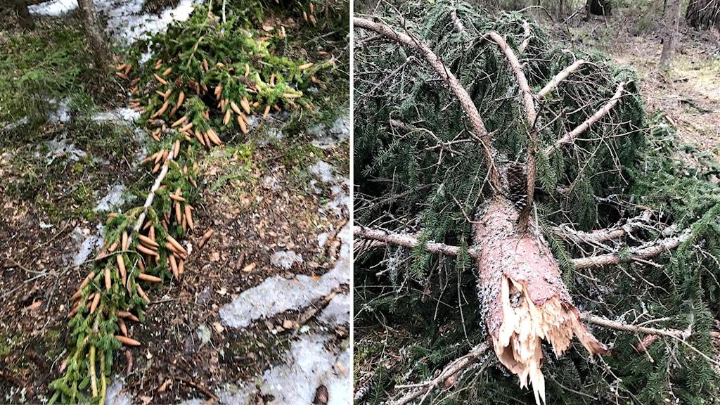 Träd som har drabbats av snöbrott.