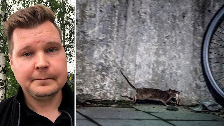 Bildkollage. Till vänster: Tobias Byström, skadedjursbekämpare på Nomor i Sundsvall. Till höger: En råtta springer från en soptunna med en liten bit mat i munnen. Foto: Daniella Nygren/Sveriges Radio och Vilhelm Stokstad/TT
