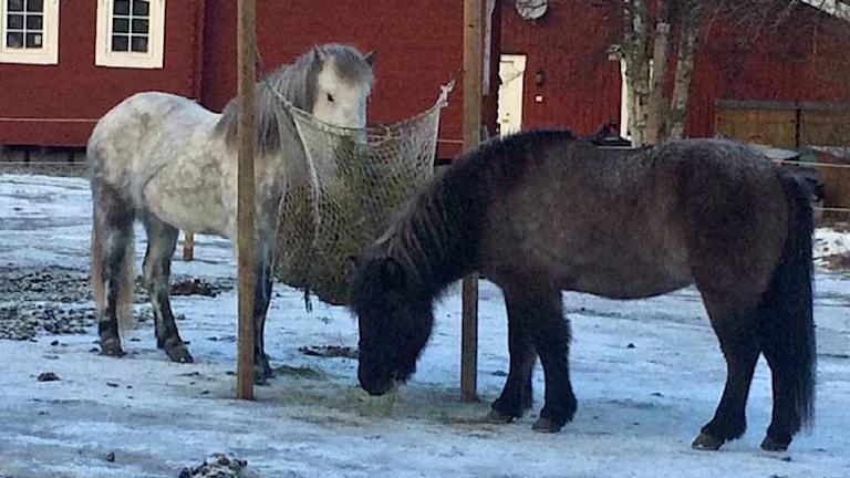 Två islandshästar som äter hö i ett nät