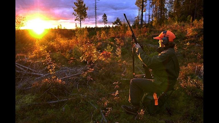 Älgjakten är igång. Foto: Gunnar Lundmark / Scanpix