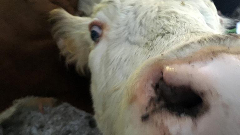 Närbild på mulen på en nyfiken kalv. Foto: Peter Hansson/Sveriges Radio