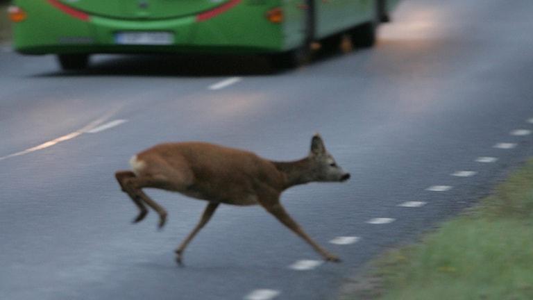 Ett rådjur skuttar över vägen.