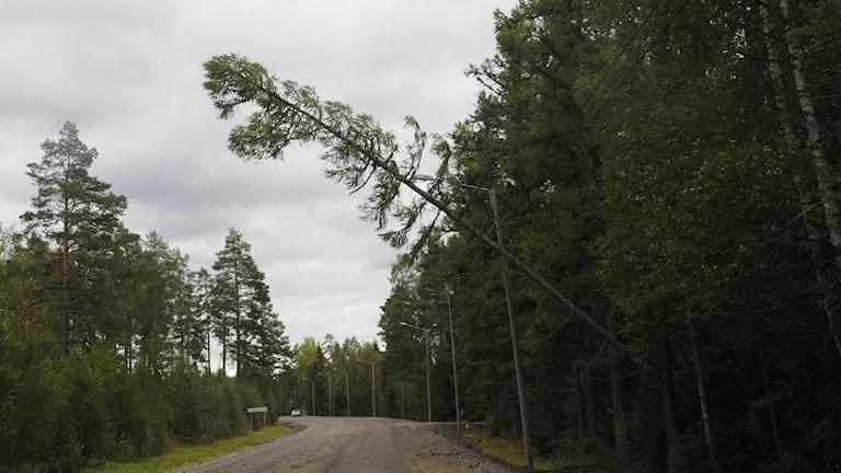 En tall har fastnat över en telefonledning längs väg 90 vis Sollefteås östra utfart.