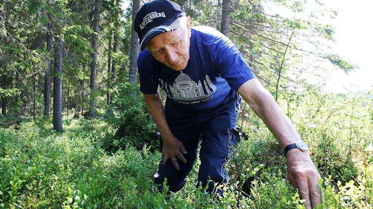 Elov Andersson plockar blåbär.