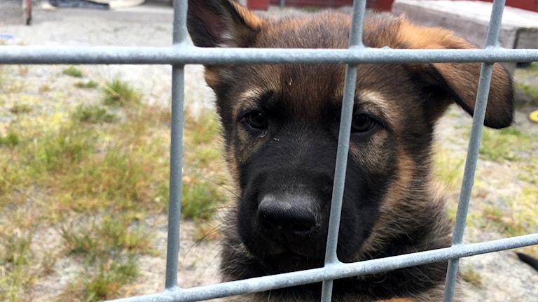 En av valparna tittar ut genom stängslet i hundgården. Foto: Anton Kårén/Sveriges Radio