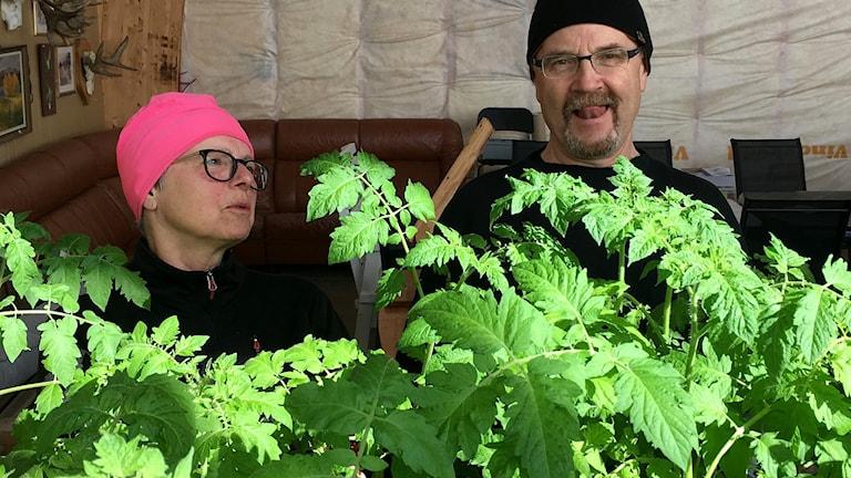Marianne Hansson och Roger Johansson bland tomatplantorna. Foto: Peter Hansson/Sveriges Radio