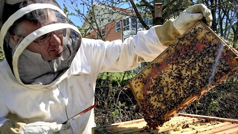 Man står med bidräkt och håller i en ram med vaxkaka, full av arbetande bin.