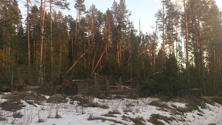 Skog som fallit efter stormen Ivar  strax väster om Selånger. Foto: Stig Edfast/SR