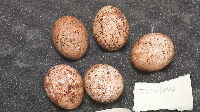 Ägg från tornfalk. Ur polisens förundersökning om äggplundring. Foto: Polisen