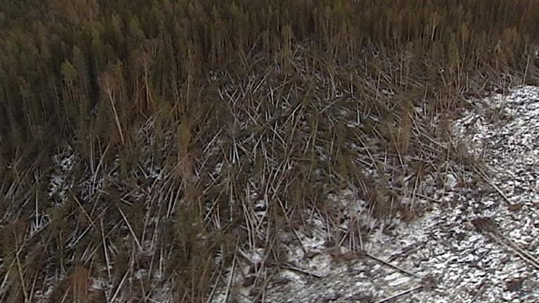 Träd som fällts av stormen Ivar