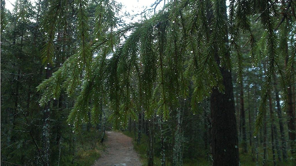 Granskog med gren i förgrunden. Foto: Karin Lönnå/Sveriges Radio