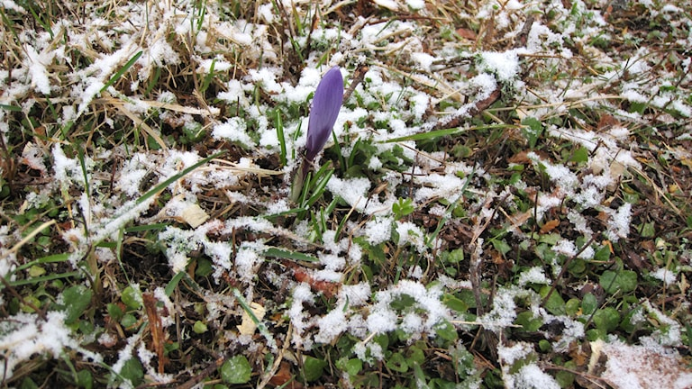 Snöfall på knoppande krokus. Aprilväder. Foto: Ann-Charlotte Carlsson/SR