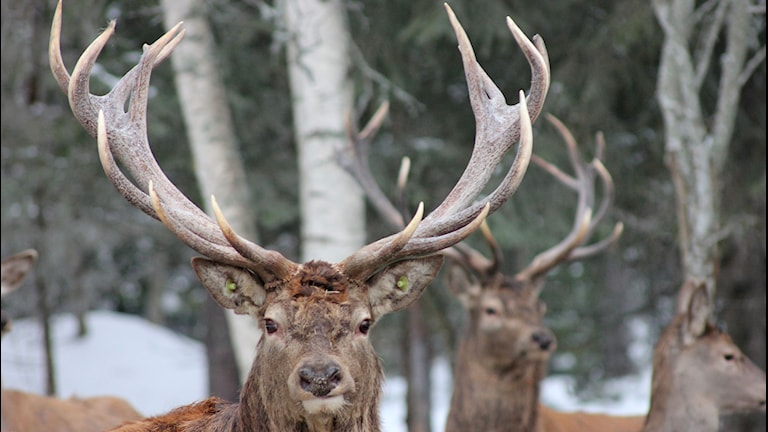 Vilda hjortar i hägn i Tängsta i Resele, Sollefteå kommun. Foto: Sara-Britta Edlund/Resele Jakt & Hjort