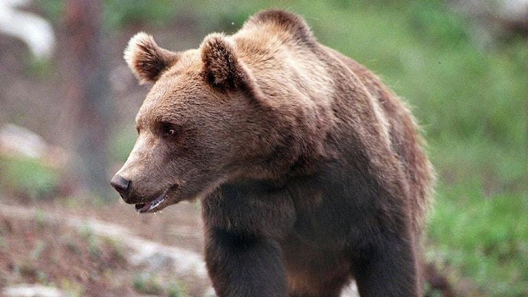 En norsk björn på väg tillbaka till Norge. Arkivbild. Foto: Per Löchen/TT