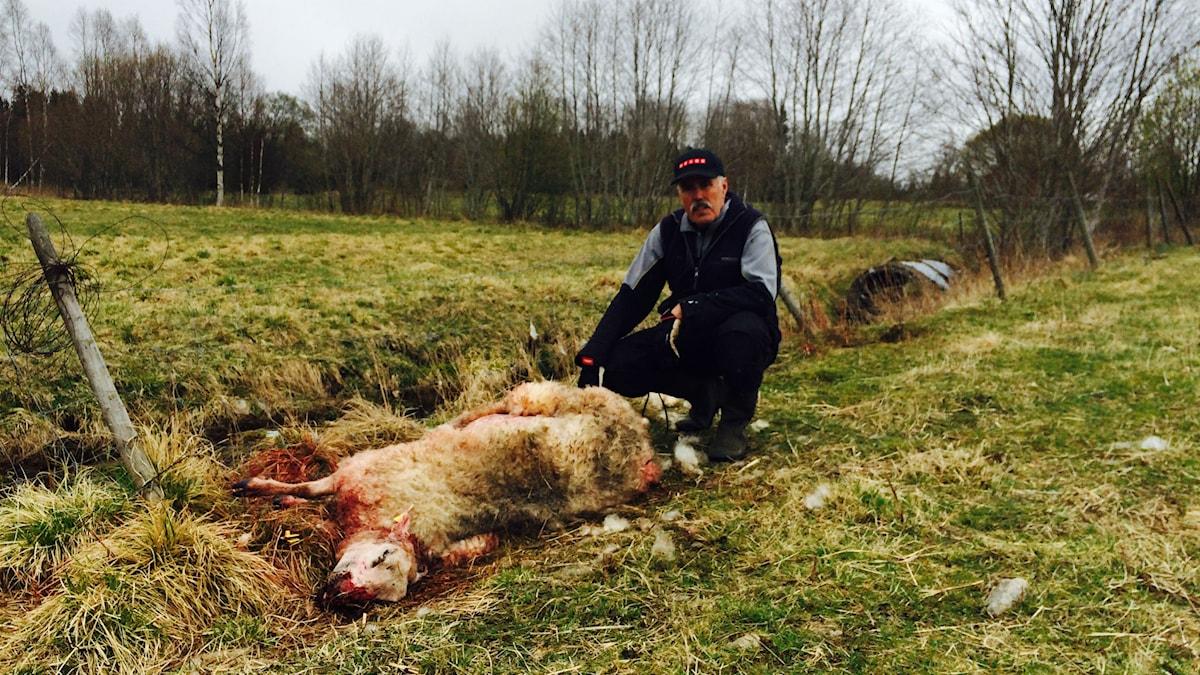 Hittade får rivna, sköt hundarna i fårhagen.