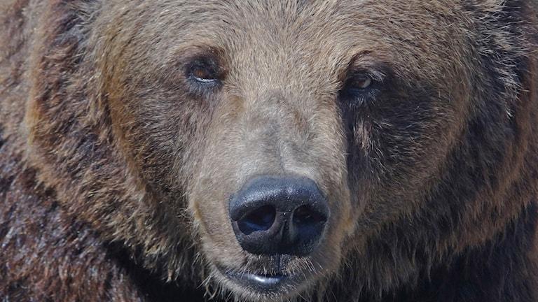 Närbild på en brunbjörn. Foto: Per Løchen/NTB/TT