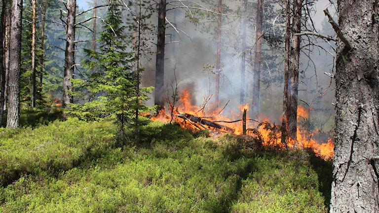 En kontrollerad naturvårdsbränning i helvetesbrännan. Foto: Anna Ahlström/Sveriges Radio