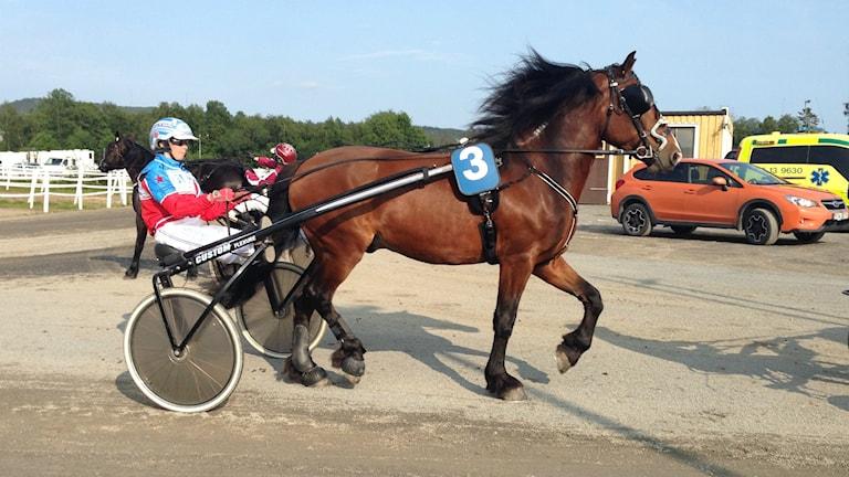 Travhäst på väg till tävlingar. Foto: Peter Hansson/Sveriges Radio
