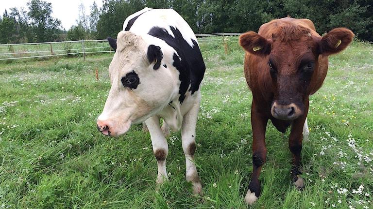 Två kor i hage. Foto: Anna Ahlström/SR