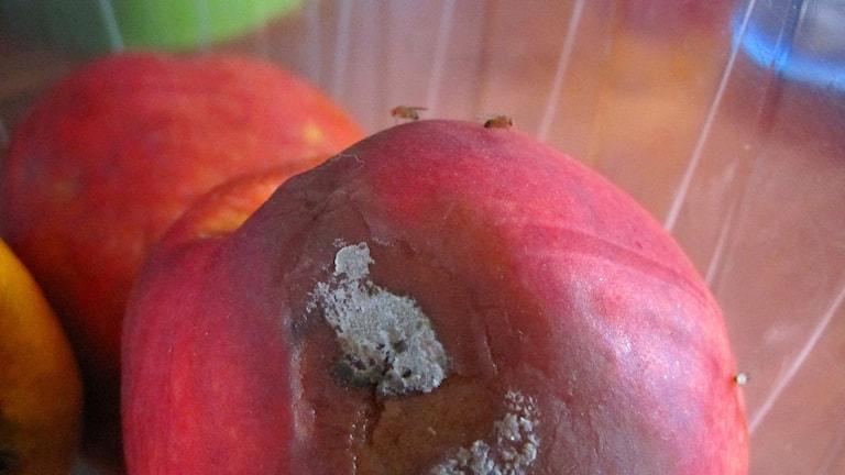 Bananflugor på övermogen nektarin. Foto: Ann-Charlotte Carlsson/SR