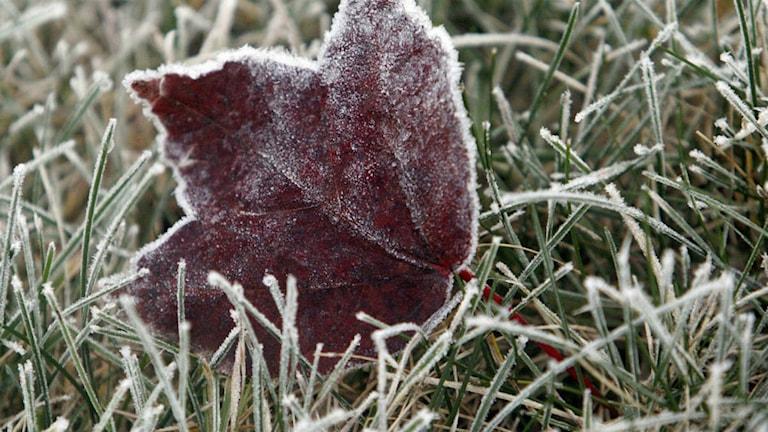 Detta löv, samt gräs, är frostnupna. Sådan markvegetation kallas även fräsgräs, enär ett sällsamt ljud uppstår när fötter berör nämnda växtlighet. Foto: TT.