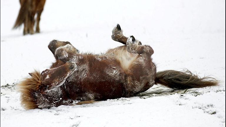 Burr, sa Kasper, när han fick en naken häst.(Kasper ville inte vara med på bild) Foto: Thomas Warnack AP/TT