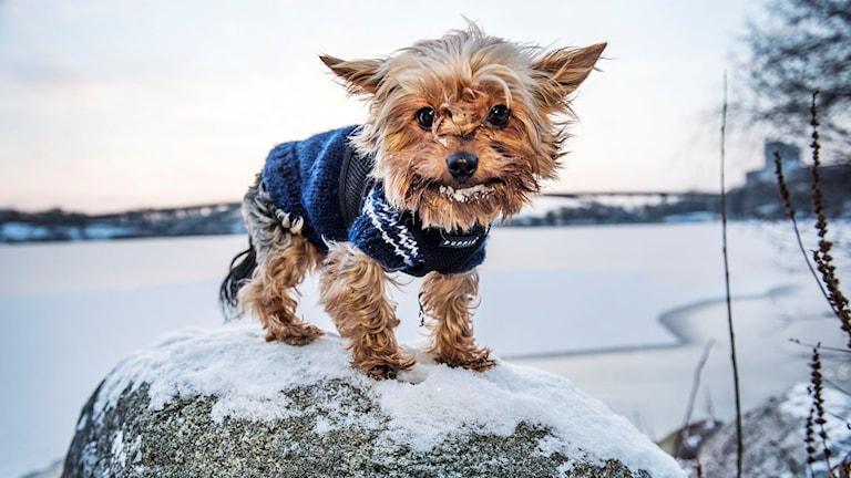 Kallt. Hunden Chicco har en norsk hemstickad tröja men fryser ändå
